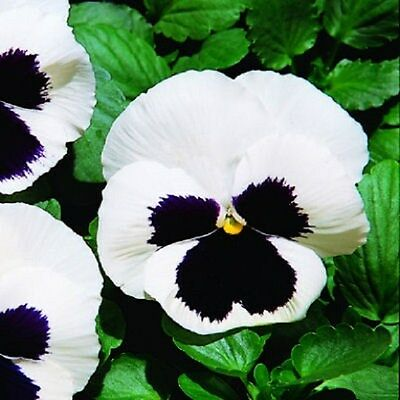 50 Pansy Seeds Giant White With Black Face FLOWER SEEDS