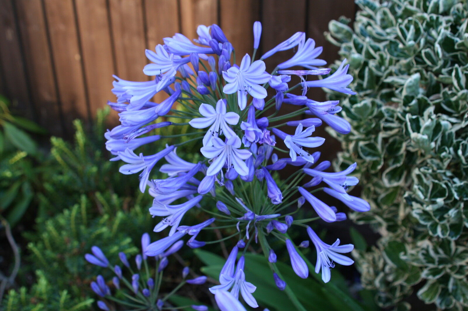 Fairy Flower Seeds Agapanthus Africanus Albus x20 seeds White African lily