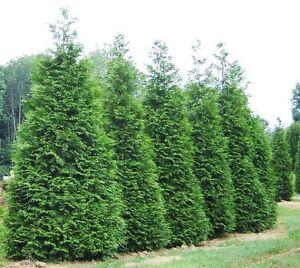 Green-Giant-Arborvitae-Tree-Thuja-plicata-Live-Plant-Quart-Pot