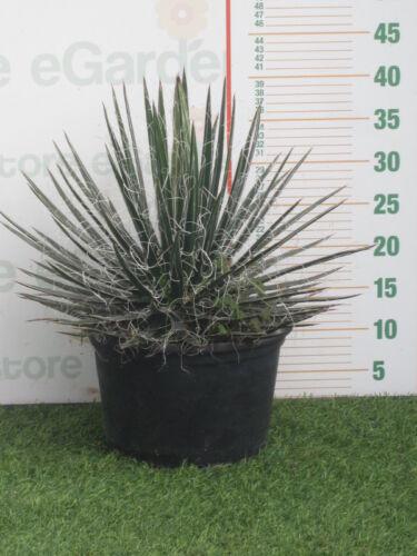 pianta di Agave geminiflora v22