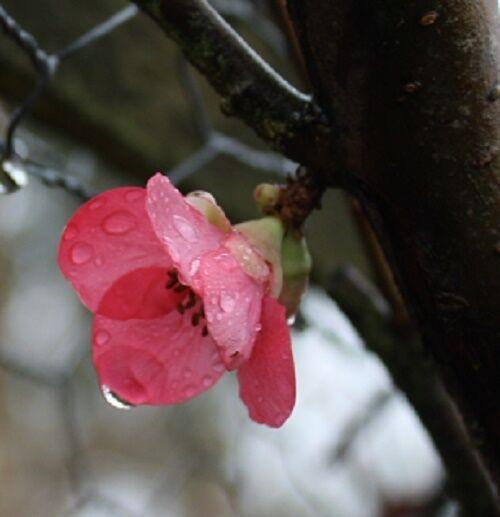 Chaenomeles speciosa Pink Lady Japanese quince  9cm Pot