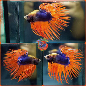 Live Betta Fish Male HUGH Fancy Blue Orange Crowntail #B811