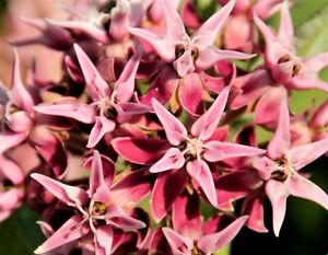 Asclepias cordifolia Heartleaf Asclépiade 10 Graines Free Ship