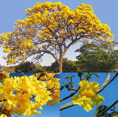 Tabebuia chrysotricha Golden Yellow Trumpet Tree Ipê Amarelo Ipé // 10 seeds