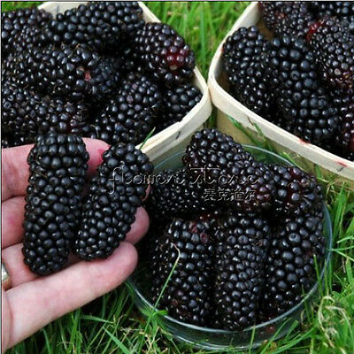 100nutritious Pre-Stratified Jumbo Thornless Blackberry Seeds Perfect Garden Fre