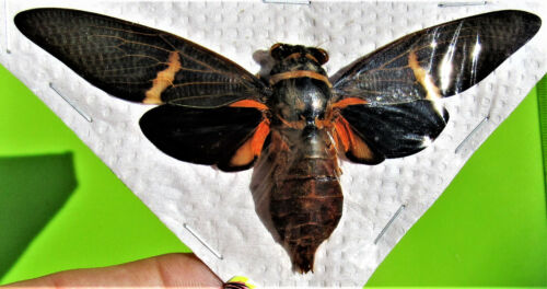Lot of 10 Uncommon Pretty Asian Cicada Tosena melanoptera Spread FAST FROM USA