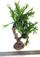 Java Fern Windelov Microsorum Pteropus Tree tropical Moss co2 snail #4