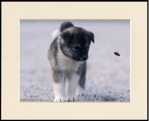AKITA PUPPY AND BEE CHARMING DOG PRINT MOUNTED READY TO FRAME