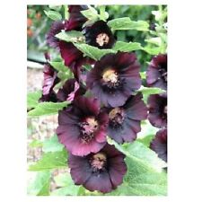 15 graines ROSE TREMIERE NOIRE(Alcea Rosea Nigra)X21 BLACK HOLLYHOCK SEEDS SAMEN