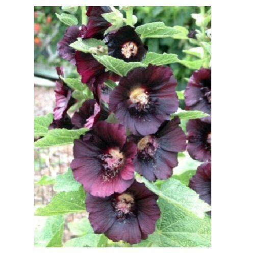 Alcea Rosea Nigra X21 BLACK HOLLYHOCK SEEDS SAMEN 15 graines ROSE TREMIERE NOIRE