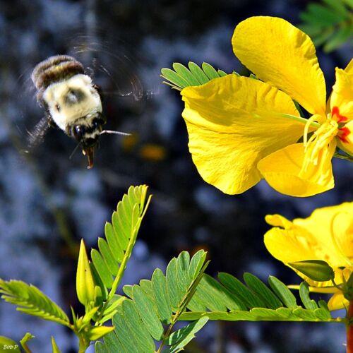 300 Sensitive PARTRIDGE PEA Chamaecrista Flower Seeds