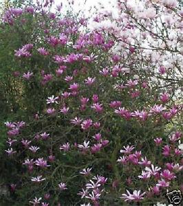 magnolie magnolia liliiflora nigra 60 80cm fr hlingsbl her. Black Bedroom Furniture Sets. Home Design Ideas