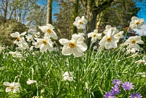 Daffodils bulbs Narcissi Dwarf Spring Flowering Narcissus Bulbs Ready To Plant