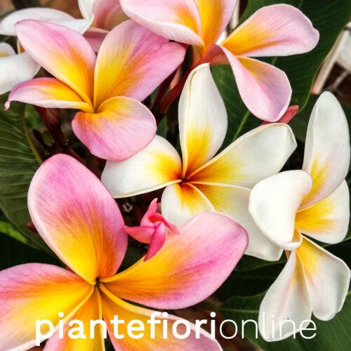 Plumeria rubra rare frangipani from Sicily Maribell