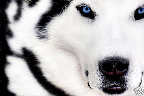 "LARGE CANVAS ART PRINT WHITE WOLF ANIMAL ARTWORK 30x20/"""