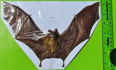 "Intermediate Roundleaf Bat Hipposideros larvatus 9"" Wingspan FAST SHIP FROM USA"