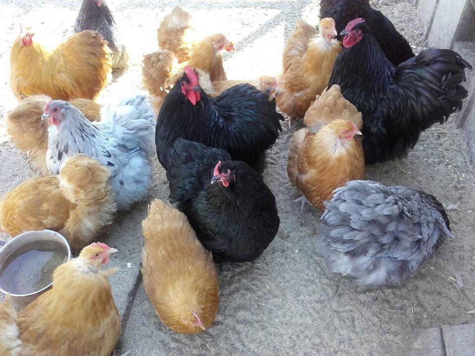 Varmefrie kyllinger klar til hønsegården