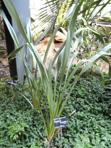 20 Fresh Seeds Phormium colensoi Mountain Flax