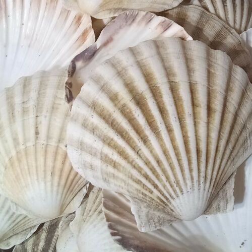 12x Large Natural Scallop Shells Sea washed 100% Natural UK Scallop Shell 712cm