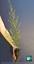LEPTOSPERMUM SCOPARIUM CV RED DAMASK fiore rosso alv pianta  Manuka