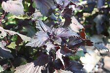 SEEDS 60 graines SHISO ROUGE (Perilla Frutescens Crispa) SAMEN SEMI SEMILLAS
