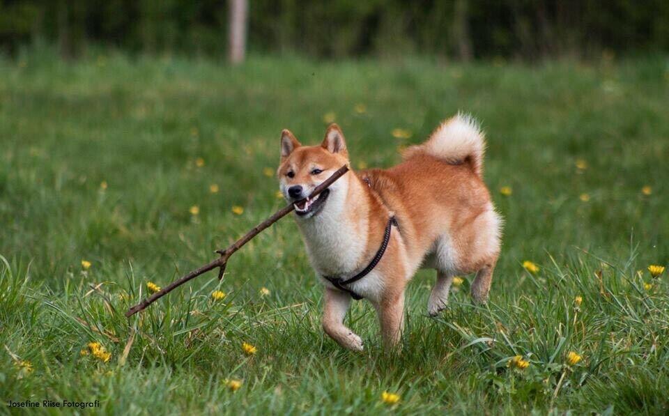 Shiba inu, hund, 3 år