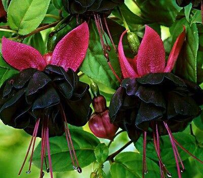Fuchsia Black Beauty *seeds*