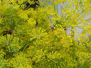 Image Is Loading Dill BOUQUET DILL Herb Garden 75 SEEDS GroCo