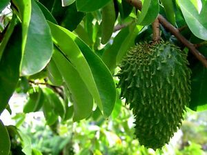 5-Semillas-Guanabana-ANNONA-MURICATA-Graviola-Rara-Fruta-exotica-Medicinal-Samen