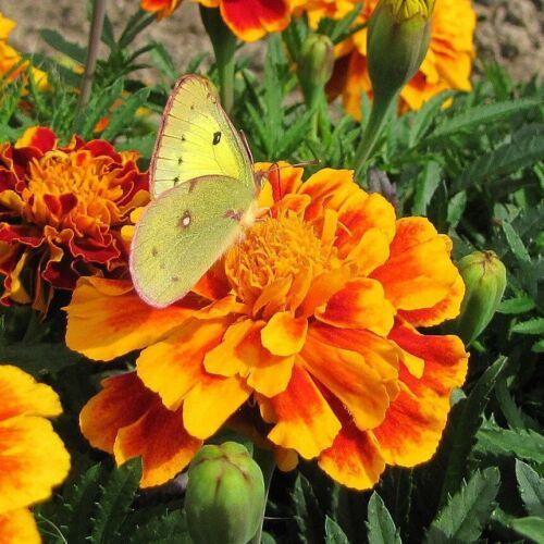 Petite MARIGOLD French Mixed 150 Seeds flower garden COMPANION PLANTING dwarf