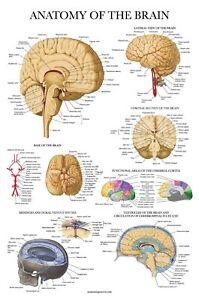 Brain Anatomy Poster - Laminated - Anatomical Chart of The ...