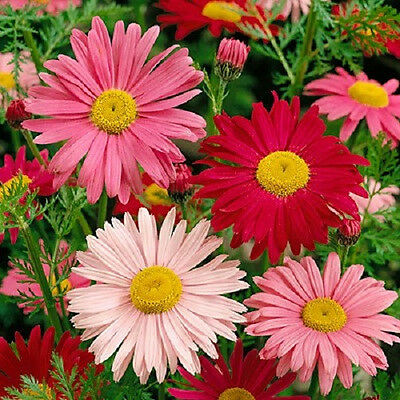 100 ROBINSONS PAINTED DAISY Chrysanthemum Flower Seeds