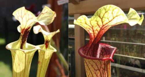 2019//GH//68 Sarracenia Carnivorous Plant Fresh Seeds UK Rare Cross