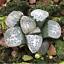Haworthia-groenewaldii-Succulent-plants-potted-Plants-Home-Garden-Bonsai-Garden thumbnail 2