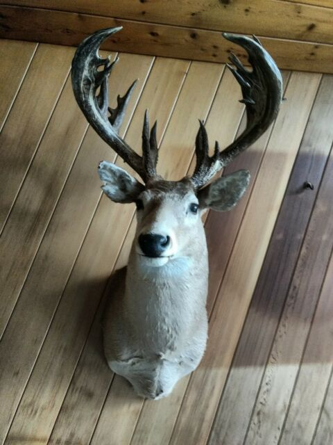 1982 Saskatchewan winner Non-Typical Whitetail deer trophy head (206 6/8 score)