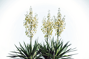 Perennial 20 Yucca Glauca Soapweed Flower Seeds A Soap Making Aloe Bush Palm!