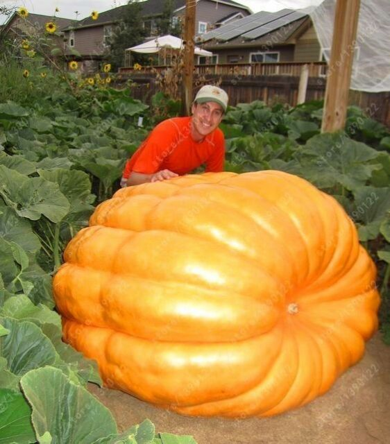 7 Graines Dill/'s Atlantic Giant Pumpkin Seeds 1500 Lb environ 680.39 kg World record holder