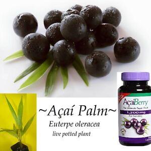 Acai-Palm-Euterpe-Oleracea-Black-Crown-Fruit-Tree-Live-sml-Potd-Starter-Plant