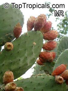 Opuntia-ficus-indica-039-gelb-039-Kaktusfeige-20-Samen