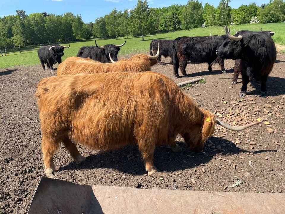 Skotsk højlandskvæg, 7 Stk.