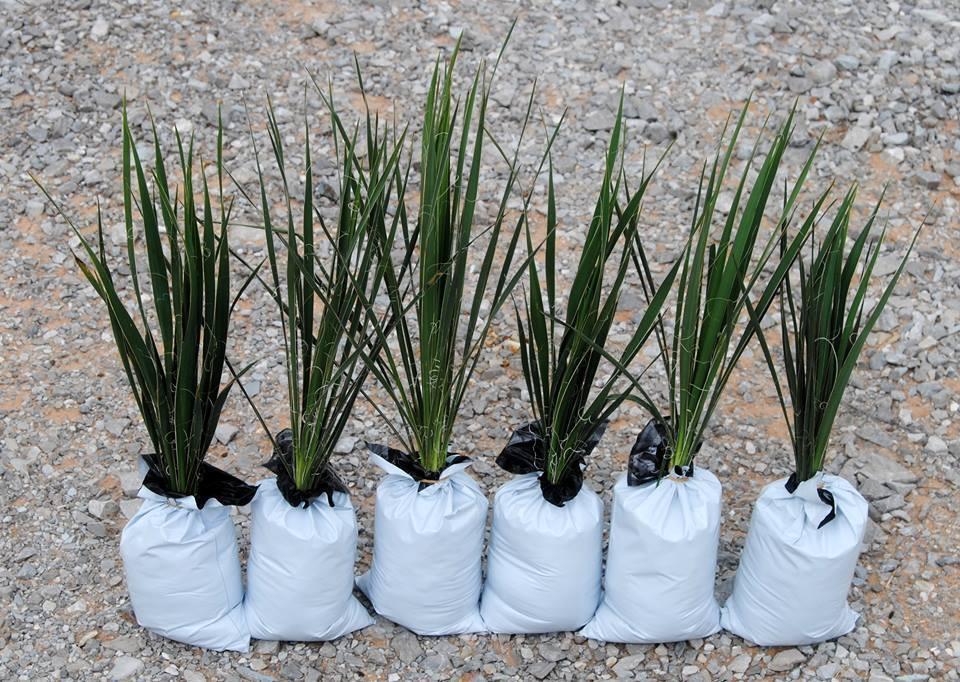 Plantas de yuca 6 Grande 20-25 in de alto Paisajismo Flores blancoo Adams Aguja