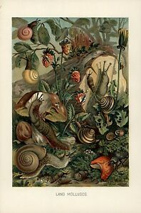 Image Is Loading Land Molluscs Snail C 1900 Color Natural History