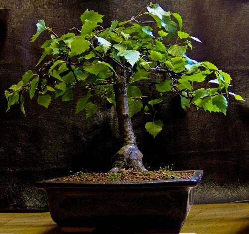 5 X tress for bonsai  Silver birch Betula pendula