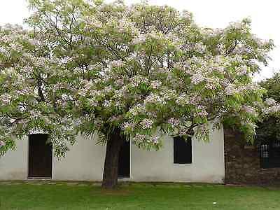Melia Azedarach Vq 9X9X20 Baum der Rosary Persian Lilac White Cedar Chinaberry