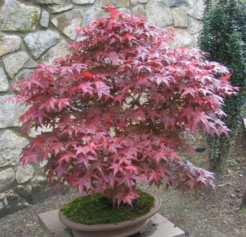 Fächerahorn !i eignet sich gut zum Bonsai-Baum. Winterharter Gartenbaum i