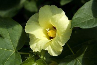 25 Samen Gossypium Hirsutum, Tropische- Wilde- Baumwolle, Baumwollpflanze Direktverkaufspreis