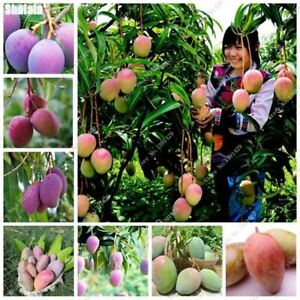 2-Pcs-Bonsai-Mango-Seeds-Delicious-Fruit-Vegetables-Seed-100-Real-Mango-Seeds-P