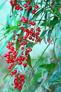 Blickfang-034-Heiliger-Bambus-034-aus-Asien-immergruen-und-leuchtend-rote-Beeren