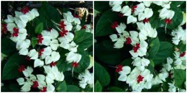 Clerodendrum Thomsoniae White Bleeding Heart Plant Ebay