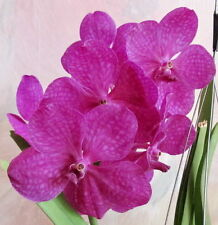 Orchid /Orchideen -Vanda/ Ascocenda Princess Mikasa Pink